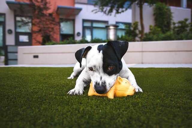 cute puppy chewing plastic yellow pig on green lawn